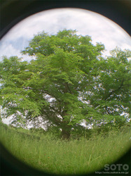 豊富ハルニレの木(4)