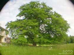 豊富ハルニレの木(6)