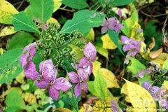 紫陽花(2)