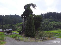阿弥陀杉(1)