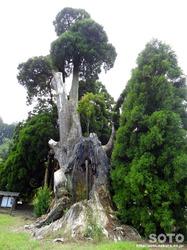 阿弥陀杉(3)