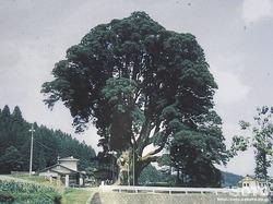 阿弥陀杉(台風前)