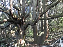 高森殿の杉(2)