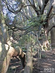 高森殿の杉(5)