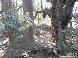 高森殿の杉(7)