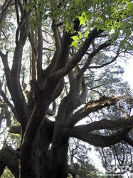 高森殿の杉(8)