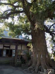 妙蓮寺の樟(1)