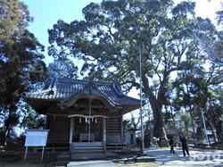 福本八幡宮の大楠(1)