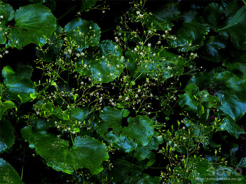 岩尾別(植物3)