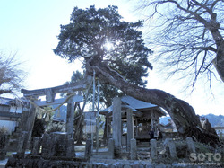 平菅原神社のたぶの木(1)