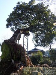 平菅原神社のたぶの木(2)