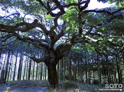仏供石のたぶの木(2)