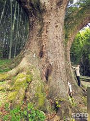 妙見の樟(3)