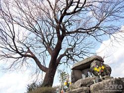 前原の一本桜(5)