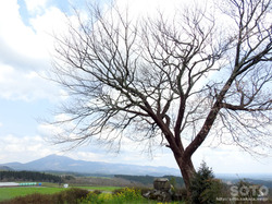 前原の一本桜(6)