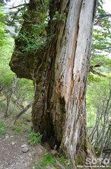 巨木(1)
