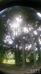 阿弥陀杉(5)