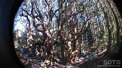 高森殿の杉(1)