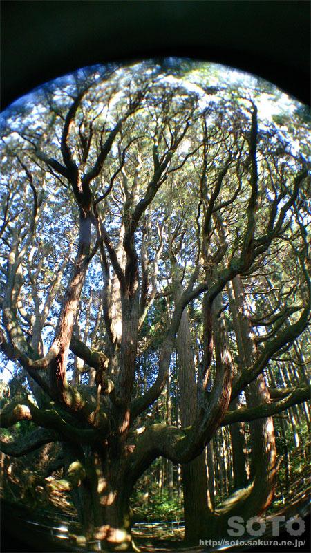 高森殿の杉(9)