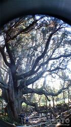 高森殿の杉(3)