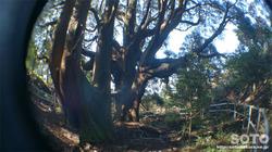 高森殿の杉(4)