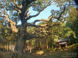 仏供石のたぶの木(1)