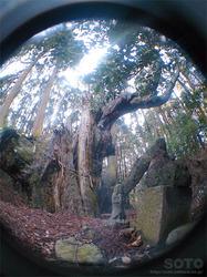 護王さんの杉(05)
