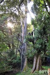 アテの原木
