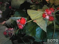 冬イチゴ(1)