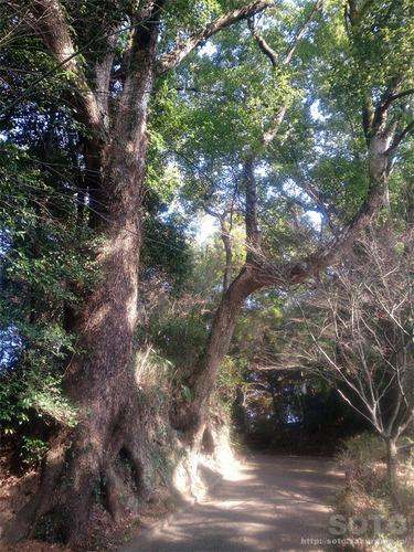 菊池神社から雲上宮へ(巨木1)