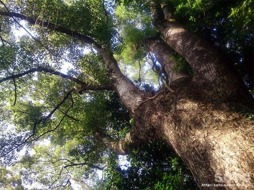 菊池神社から雲上宮へ(巨木2)