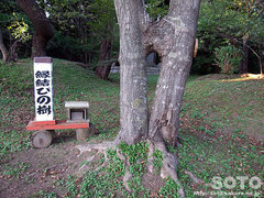松前神社のご神木