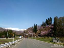 徹然桜(1)