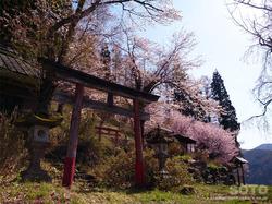 徹然桜(2)