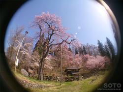 徹然桜(3)