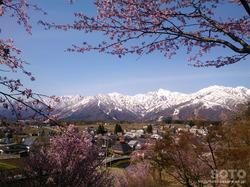 徹然桜(5)