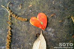 香椎宮で見つけたハート葉