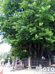 熊野大社ご神木