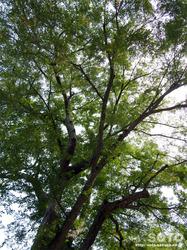 千歳神社(ろうさん大樹)