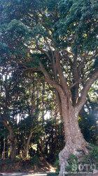 神明神社(巨木)