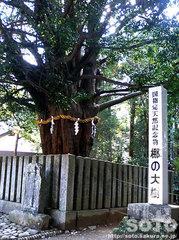 熊野速玉神社 梛の大樹