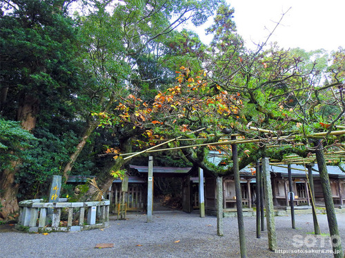 宗像大社(ご神木・楢)