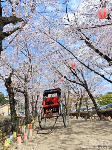 菊池の桜(菊池神社表参道)