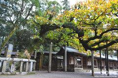 宗像大社(ご神木)