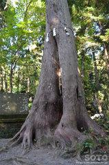 十和田神社(巨木1)