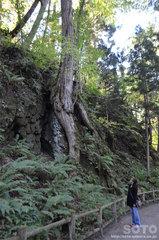 十和田神社(巨木2)