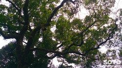 大津山阿蘇神社(大津山生目八幡宮の巨木)