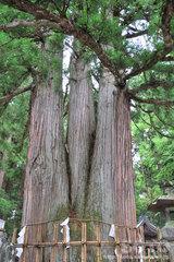 戸隠中社(三本杉)