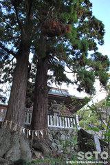 筑波山神社(夫婦杉?)