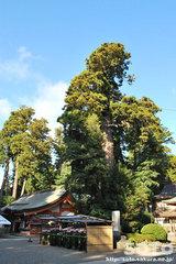 香取神宮(ご神木)